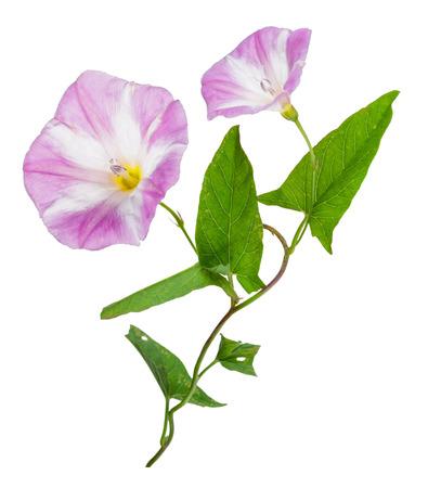 convolvulus: Bindweed (Convolvulus arvensis) pink flower