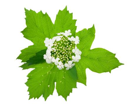 guelderrose: Viburnum (Guelder-rose) flower