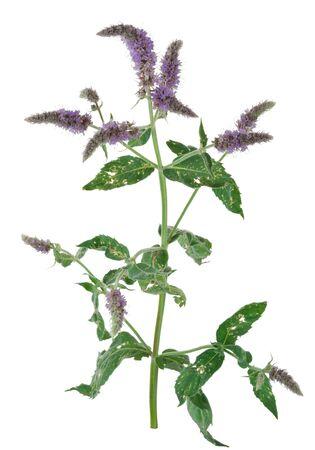 mentha: Medicinal plant: Mentha longifolia Stock Photo