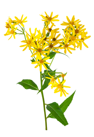 field flower: Common goldenrod Stock Photo