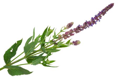 officinalis: Flowering sage (Salvia officinalis) Stock Photo