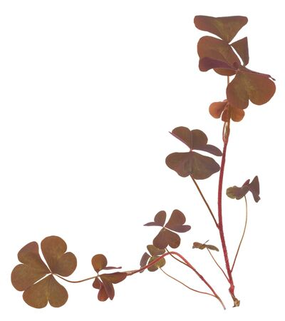 shamrock: Oxalis triangularis (Purple shamrock)