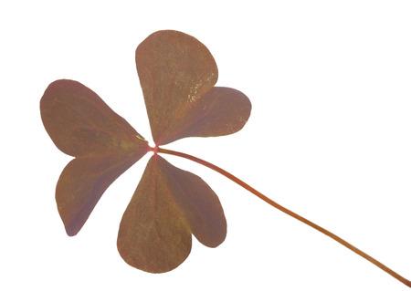 false shamrock: Oxalis triangularis (Purple shamrock)