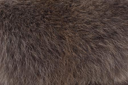 raccoon: Background of raccoon fur