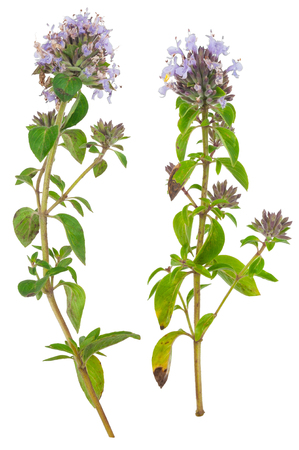 officinal: Medicinal plant: Thyme