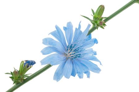chicory coffee: Chicory flower. Macro Stock Photo