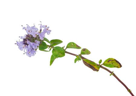 medicinal plant: Medicinal plant: Thyme