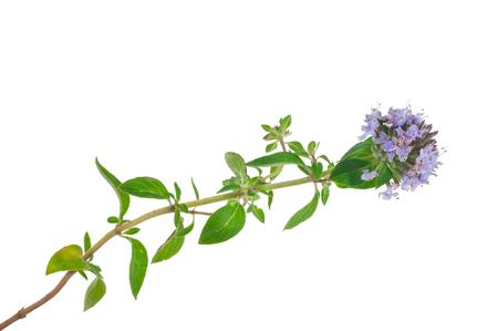 Plante médicinale: Thym