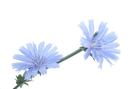 endivia: Flores de achicoria