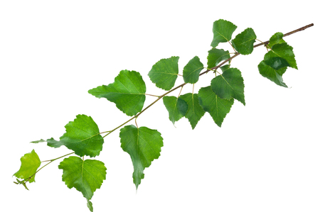 Young birch branch Stock Photo