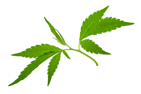 opiate: A young new growing cannabis (marijuana) plants Stock Photo