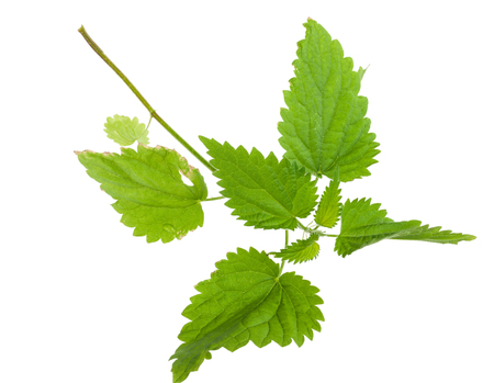 green herbs: Nettle isolated on a white background