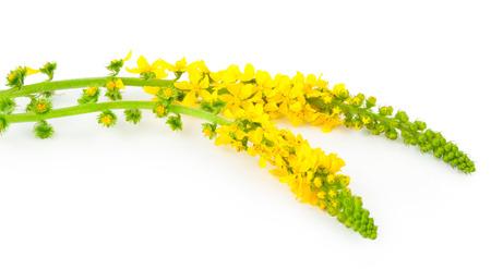 botan: Medicinal plant: Agrimonia eupatoria. Common agrimony Stock Photo