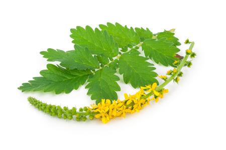 Medicinal plant: Agrimonia eupatoria. Common agrimony Imagens