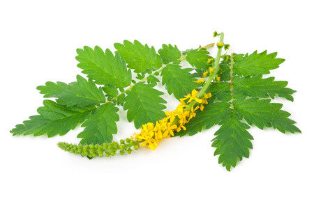 genital: Medicinal plant: Agrimonia eupatoria. Common agrimony Stock Photo