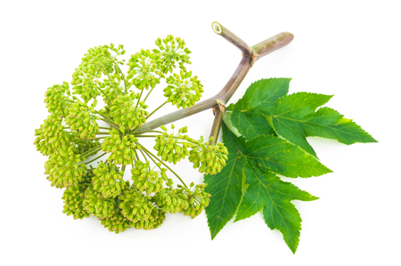 Angelica plant Stock Photo