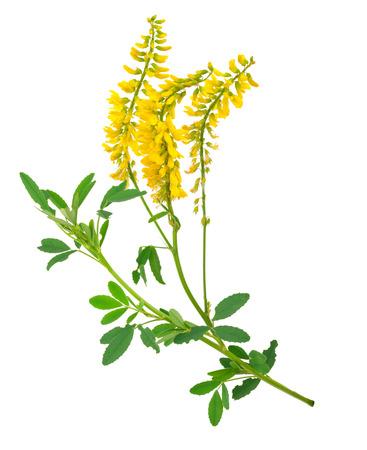 officinalis: Medicinal plant: Melilotus officinalis (Yellow Sweet Clower)