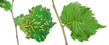 gall: Lime nail gall - Eriophyes tiliae