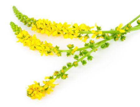 botan: Medicinal plant: Agrimonia eupatoria. Common acrimony Stock Photo