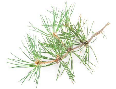 Pine tak Stockfoto - 61198644