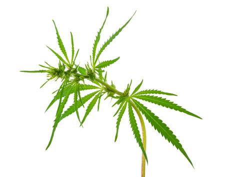 opiate: Cannabis (marijuana) plants Stock Photo