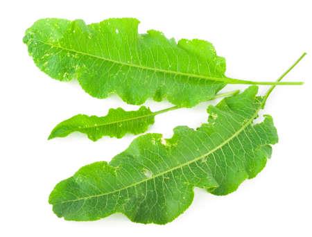 green herbs: horseradish leafs