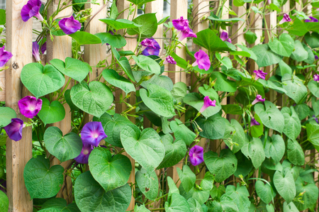 glory: Ipomoea purpurea
