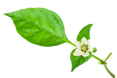 young branch of pepper with green leaf