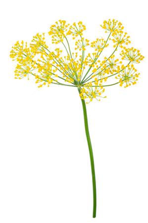 ディルの散形花序の分離