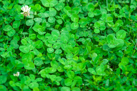 luckiness: Clover background