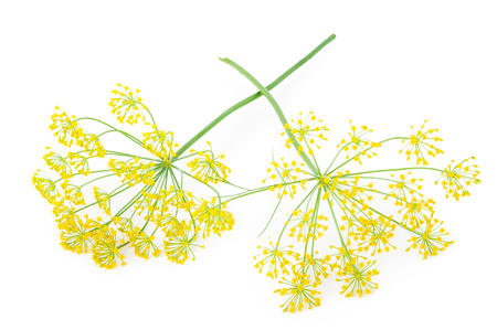 umbel: Dill Umbel Isolated