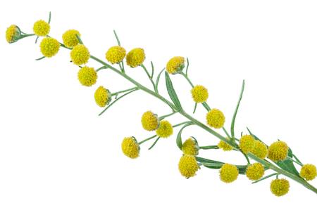 ajenjo: Absinthium (Artemisia absinthium) Foto de archivo
