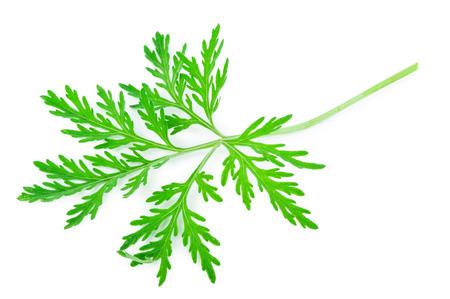 sagebrush: Wormwood (absinthium)leaf