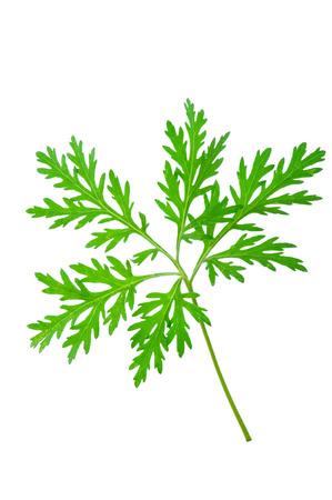 ajenjo: Wormwood (absinthium)leaf
