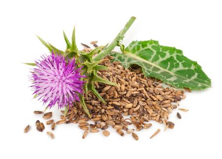 Silybum marianum (밀크 티슬). 의료 식물