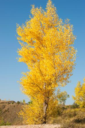 A single autumn birch tree