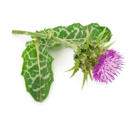Silybum marianum (Milk Thistle).  Medical plants