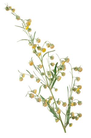 Sagebrush on white background Stock Photo