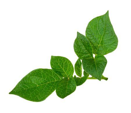 Potato leaf Stock Photo