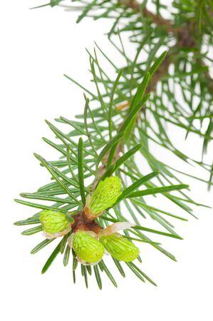 Fir tree branch Zdjęcie Seryjne