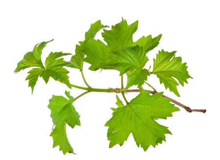 Branch of the viburnum Zdjęcie Seryjne