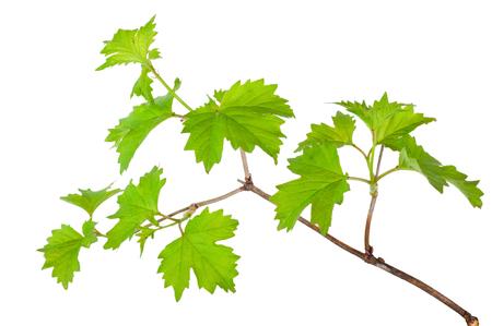 Branch of the viburnum Stock Photo