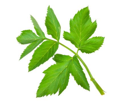 Angelica herb leaf sprig