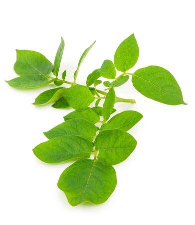 Potato leafs