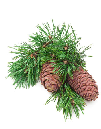 Cedar cones with branch on white