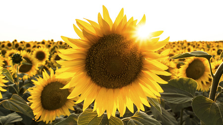 shined: Sunflower in the field shined by sun rays from back