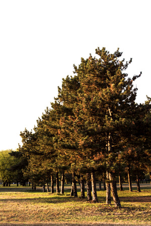 allegheny: Trees lined up in the park