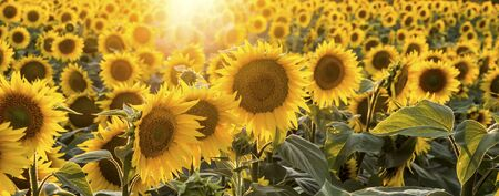 l agriculture: Sunflowers in the field with focus on the center of the image Stock Photo