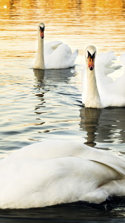 Swans at the river Danube Stock Photo