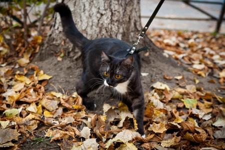 hojas secas: Un gato con una correa jugando en las hojas de oto�o secas al aire libre
